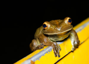 A night visitor on the Peruvian Amazon.